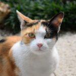 三毛猫の99.9%がメスである理由|遺伝によるオスの希少性と神秘性とは