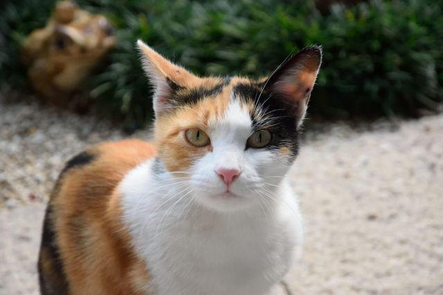 三毛猫の99.9%がメス
