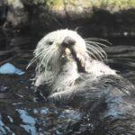 ラッコが貝ばかり食べている理由|泳ぎ下手&潜水時間の短さが弱点
