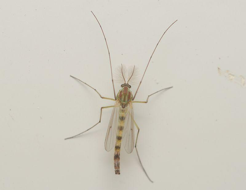 緑色の蚊のような虫「ユスリカ」